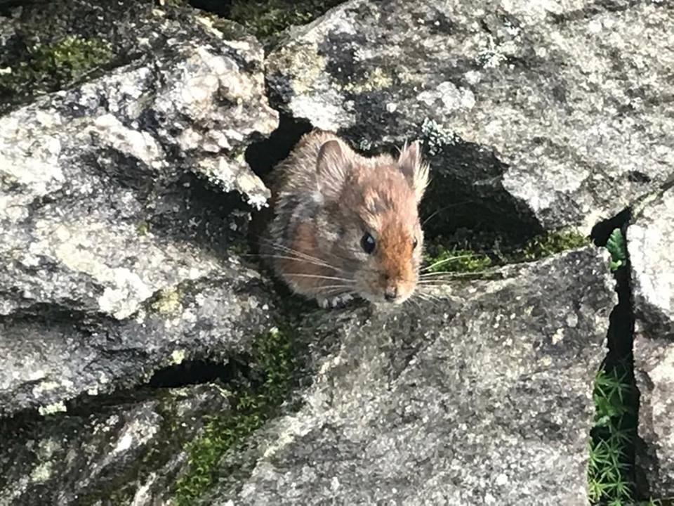 rabbit at tungnath chopta
